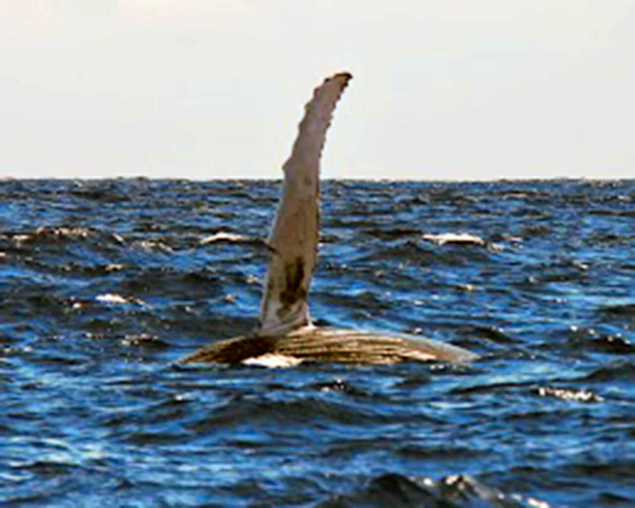 Sortie PMT - Baleine - Bulle d'air - Ile de la Réunion